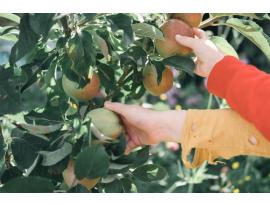 Recolección de fruta: cómo, cuándo y con qué hacerla