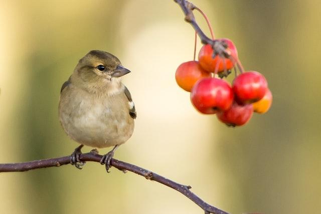 ¿Cómo pueden afectar las aves al cultivo de árboles frutales?