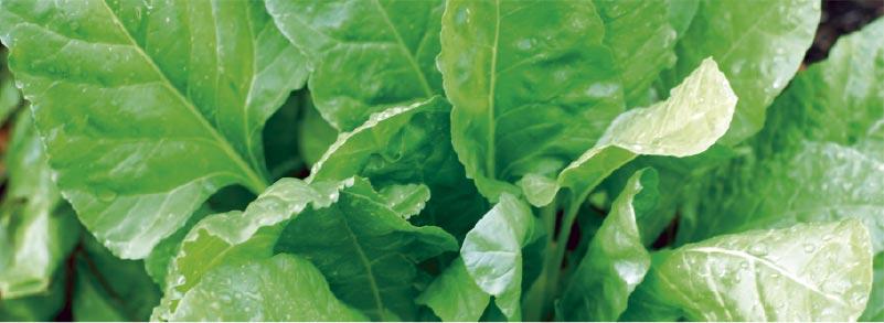 Cultivar espinacas en la sombra